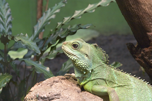 Green water dragon (Physignatus concincinus) in the Zoo