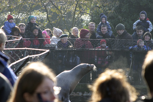 Feeding of the sea lions in Copenhagens Zoo.
