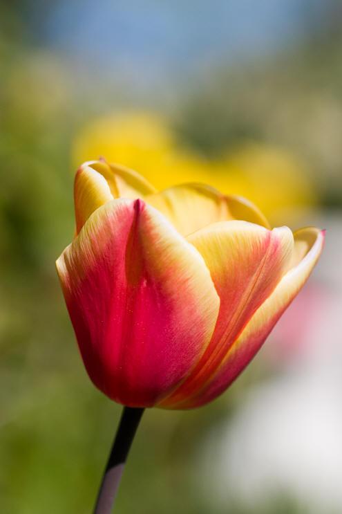 Tulipan movie
